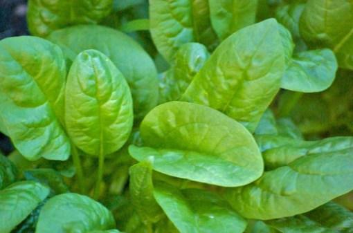 Spinach-Sciondriver-e1421870721589