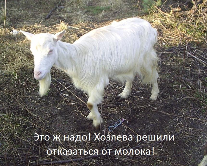 Наша коза переехала к друзьям, потому что мы отказались от молока