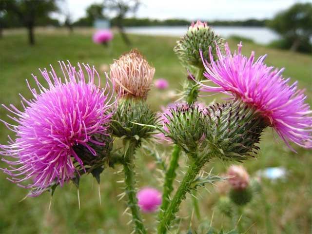 rastoropsha-cveti-semena