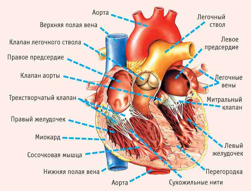 heart_anatomy-min_compressed-1